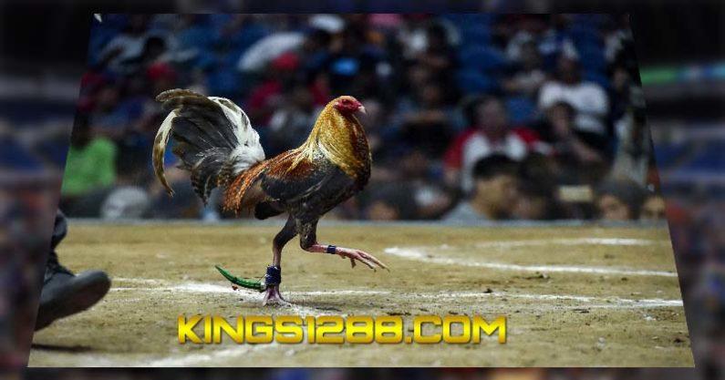 Agen Sabung Ayam Pw