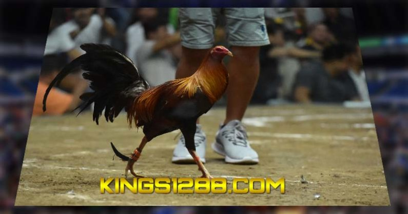Situs Adu Ayam Pw